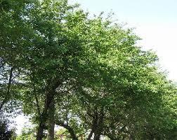 サクラの木の剪定時期