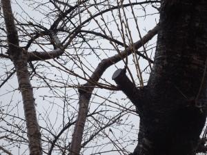 サクラの剪定の切り口から徒長枝