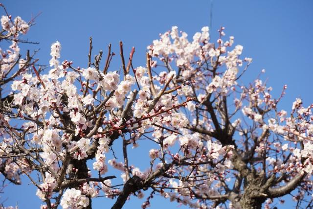 梅の花を咲かせる剪定作業