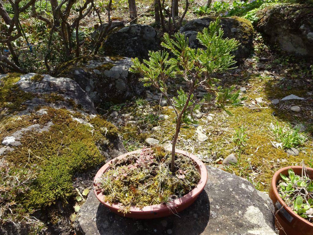 盆栽と鉢植えの違い