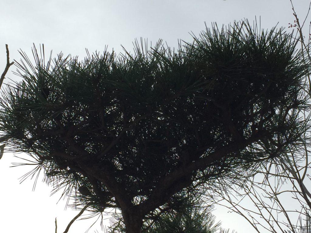 松の樹形内部