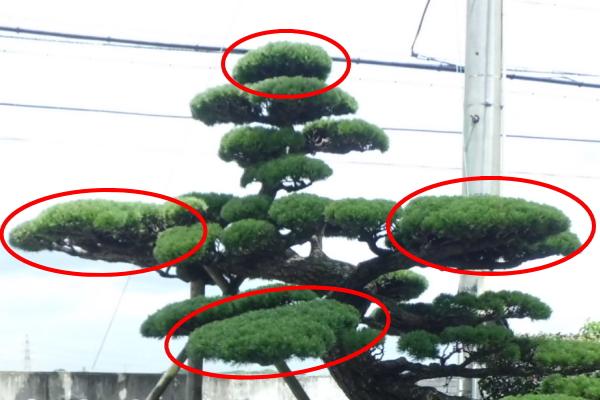 松の樹形横