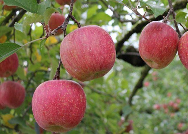 12.7-3りんご葉とり